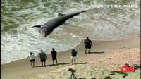 ニューヨークの海岸に打ち上げられた巨大サメ(ウバザメ)