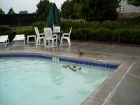 プールから出れない赤ちゃんアヒルの救出劇