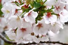 大島桜 (おおしまざくら)
