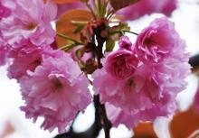 大沢桜(おおさわざくら)