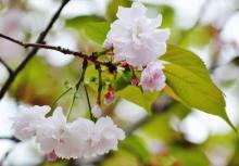 箒桜(ほうきざくら)