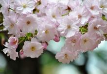 簪桜 (かんざしざくら)
