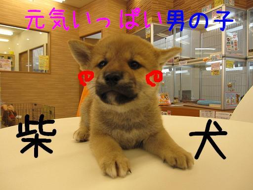 ブログ 柴犬