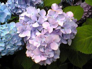 紫陽花ミッキー