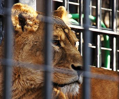 野毛山のライオン