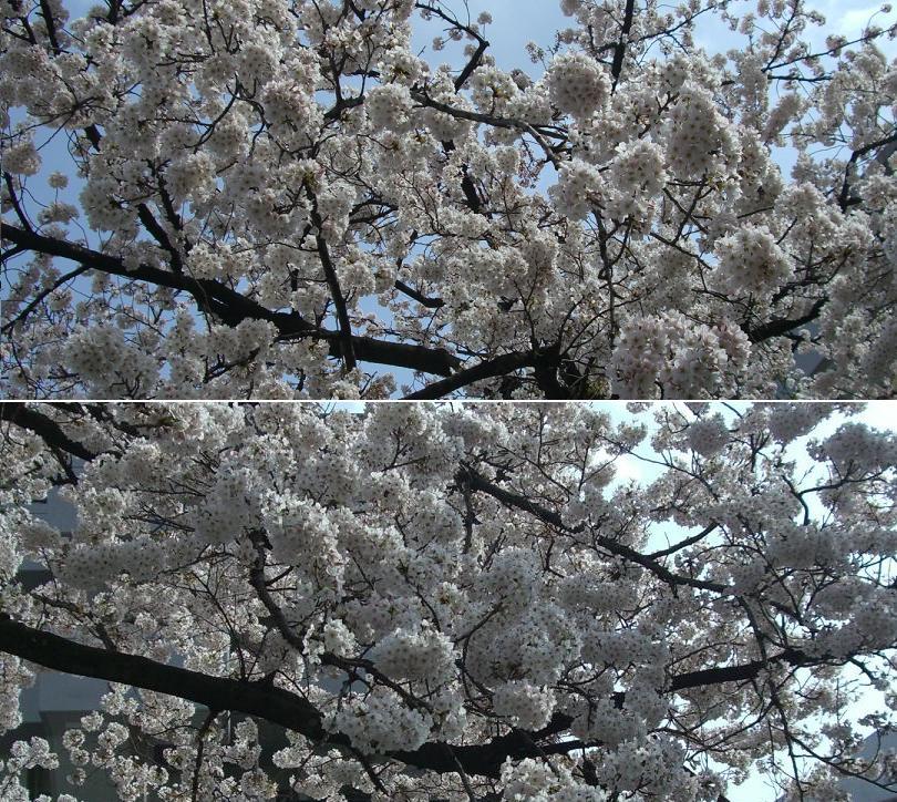 青戸・平和公園の桜(2009)