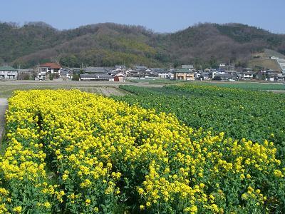 『宮川』前の菜の花畑