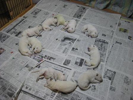 ホワイト子犬の輪