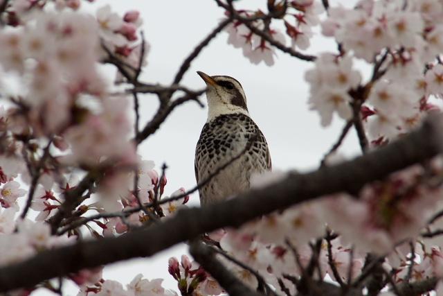 桜の間からツグミ