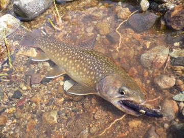 塩原岩魚31
