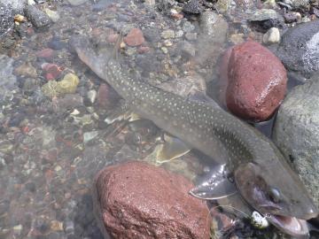 大谷川岩魚35