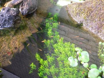 めだか池1