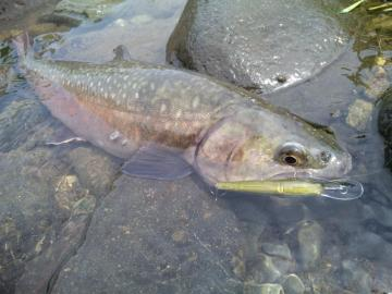 大谷岩魚40cm