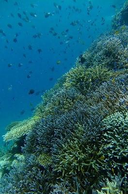 サンゴも陽射しを浴びてとってもキレイ