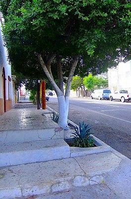 ラパスの街路樹 下半分が白い