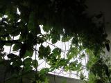 家庭菜園 ゴーヤ エコ