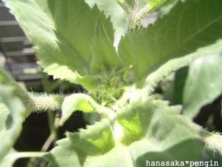 110714himawari.jpg