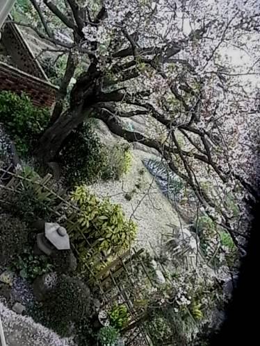 上からの桜