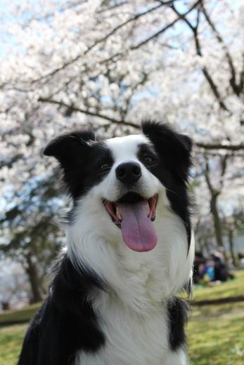 20110417_ポー君と桜