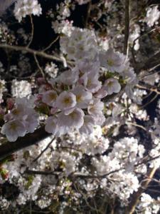 桜(アップ)
