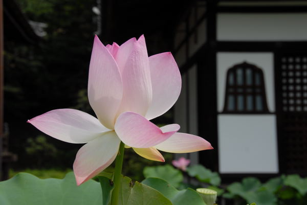 三室戸寺蓮04