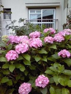 八潮市八潮団地一角の季節の紫陽花