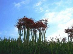 higanbana aozora