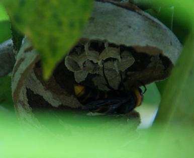 コガタズメバチの巣