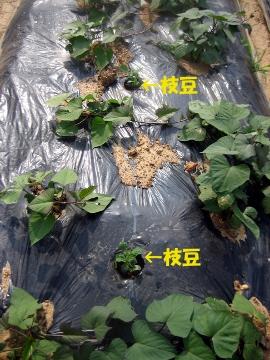 芋畑の枝豆2
