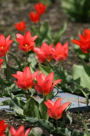 咲いた~咲いた~ツーリップの花が♪