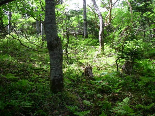 南アルプスー笹山(笹山東尾根)H20.7.19~20 053