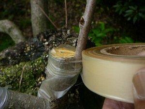 カキ接木テープ