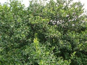 みかん接ぎ木前樹
