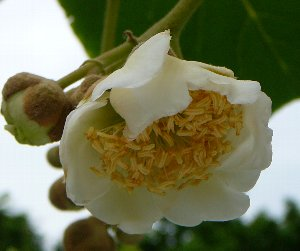 キウイ雄花開花