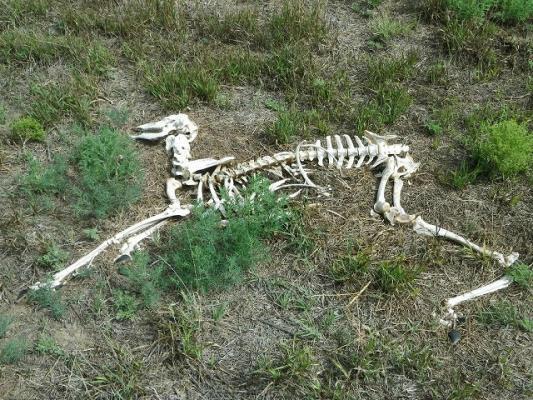 deer_bones