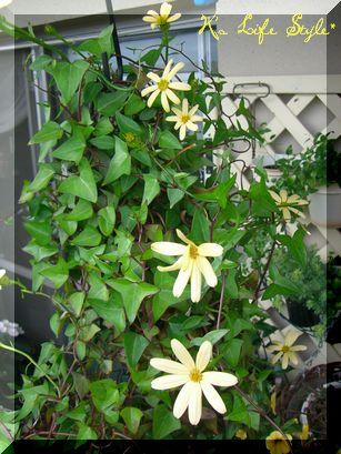 アイビーマーガレット開花