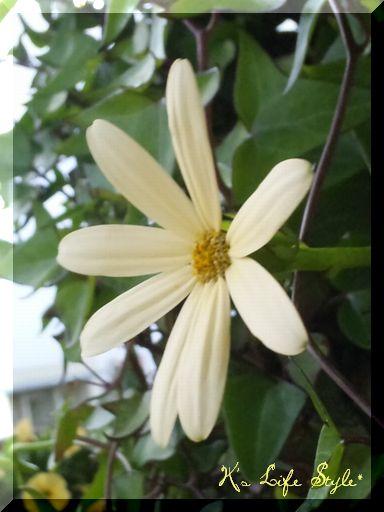 アイビーマーガレット花