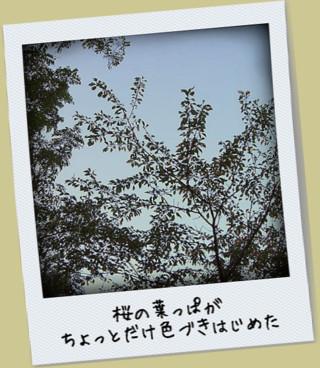 桜の葉っぱ