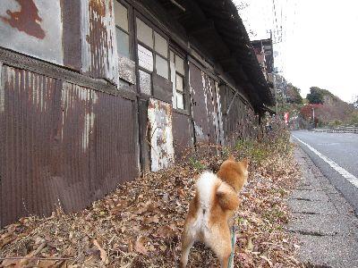 柴犬と廃屋散歩