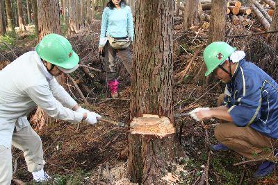 天竜杉の手伐採