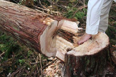 伐採された天竜杉