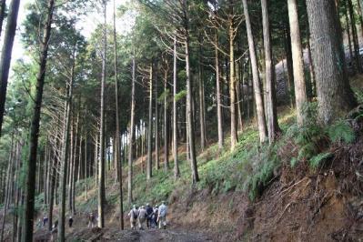 間伐している杉林