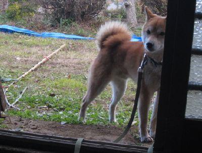 ストーブを避ける柴犬