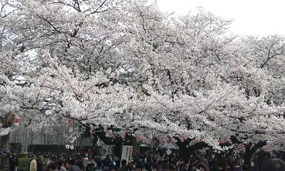 桜20120408②