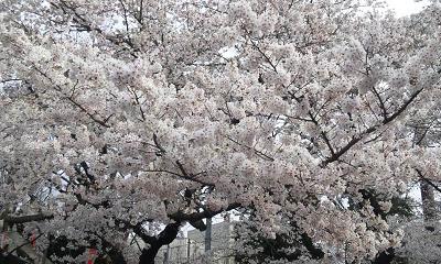 桜20120408①