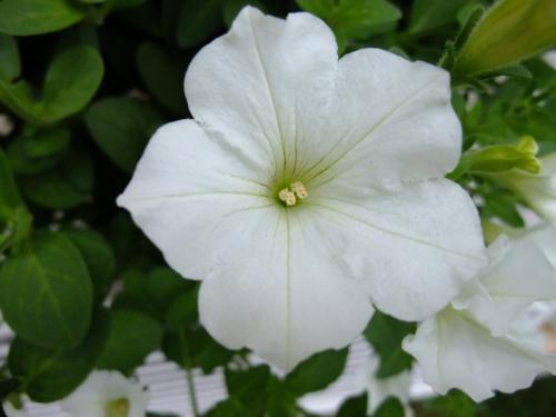 サフィニア ピュアホワイト 1