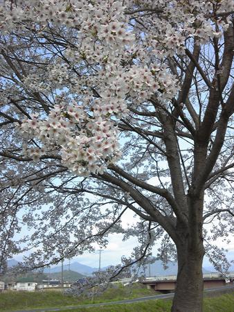 桜2012.4.17
