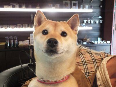 4_DSCF1461 芝犬 タエちゃん