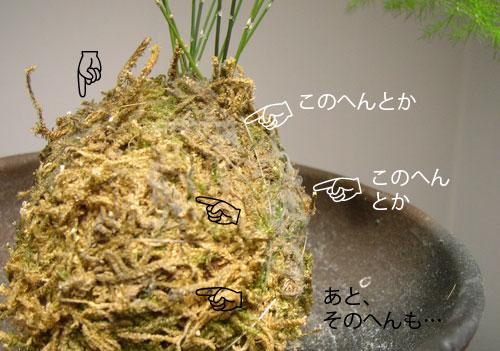 苔玉アスパラガス04