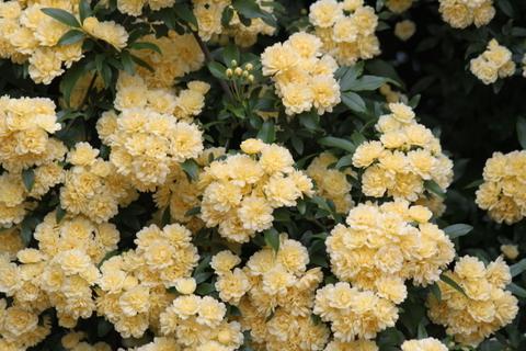黄モッコウバラ2